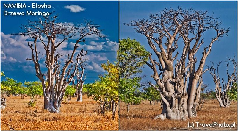 ETOSZA - Nawiedzony Las, czyli drzewa moringa