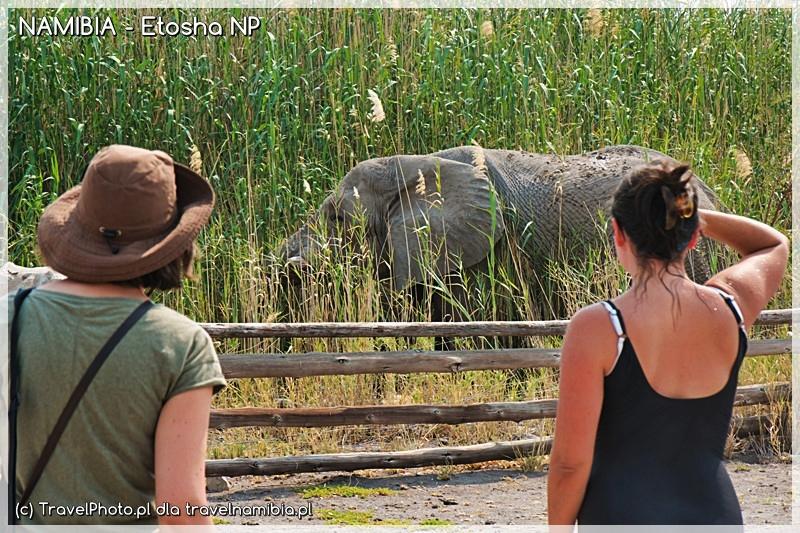 Namutoni - słoń obok oczka wodnego. Trzcina - mniam, mniam!
