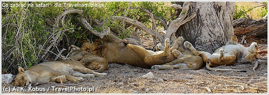 A lew śpi... Można spędzić nawet kilka godzin czekając, aż się obudzi!