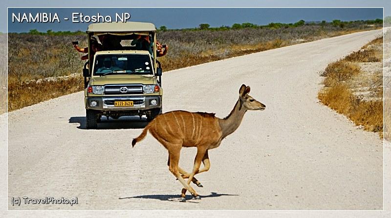 Czasem zwierzęta nagle wyskakują na drogę !