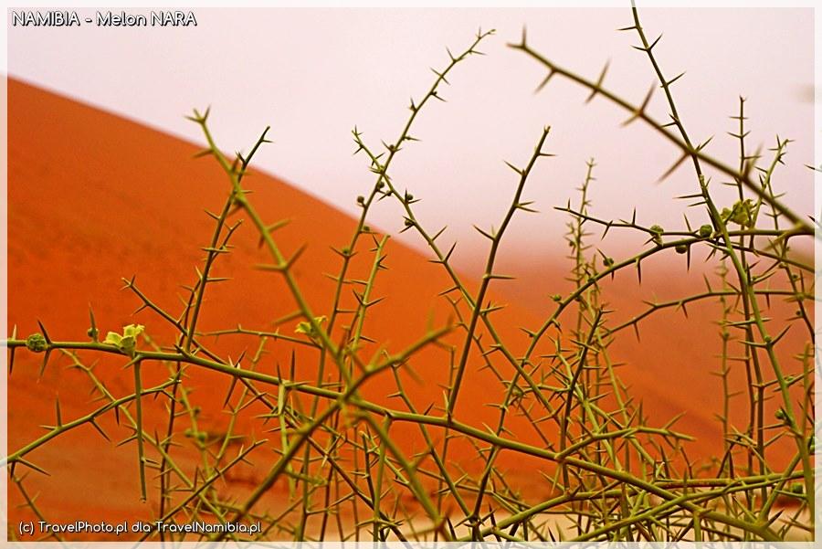 Gałęzie !nara na tle wydm pustyni Namib.