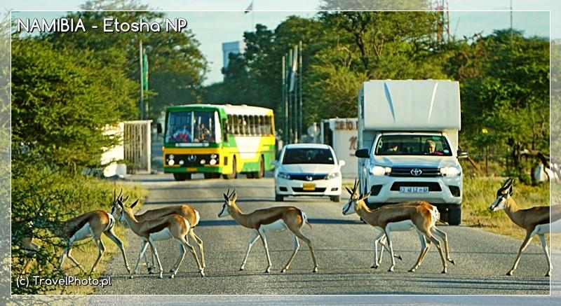 Etosza - stado springboków kilkaset metrów od bramy Namutoni