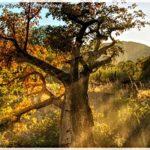 Obraz baobabu – Historia jednego zdjęcia