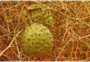 Melon !nara – skarb pustyni
