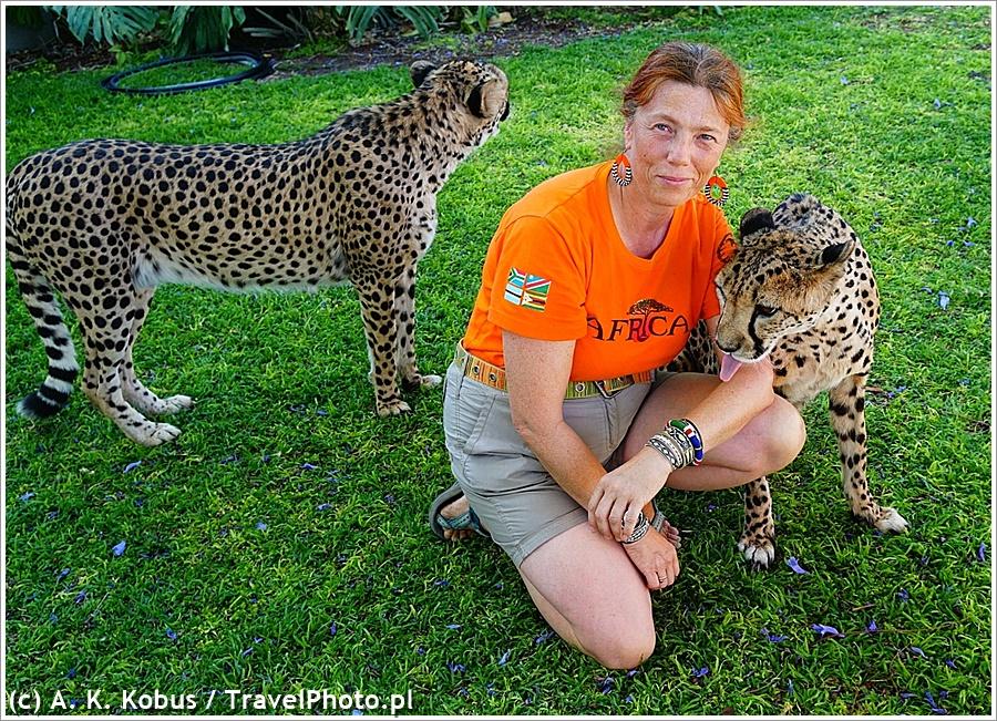 Namibia. Gepardów już nie wolno głaskać, ale nikt im nie powiedział, żeby nie lizały turystów :)