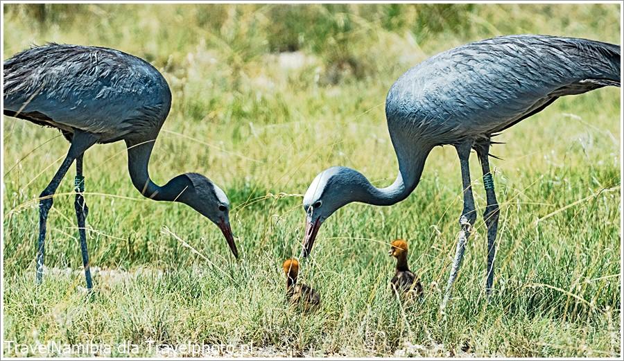 W Etoszy spotkacie bardzo rzadkie żurawie błękitne (rajskie).