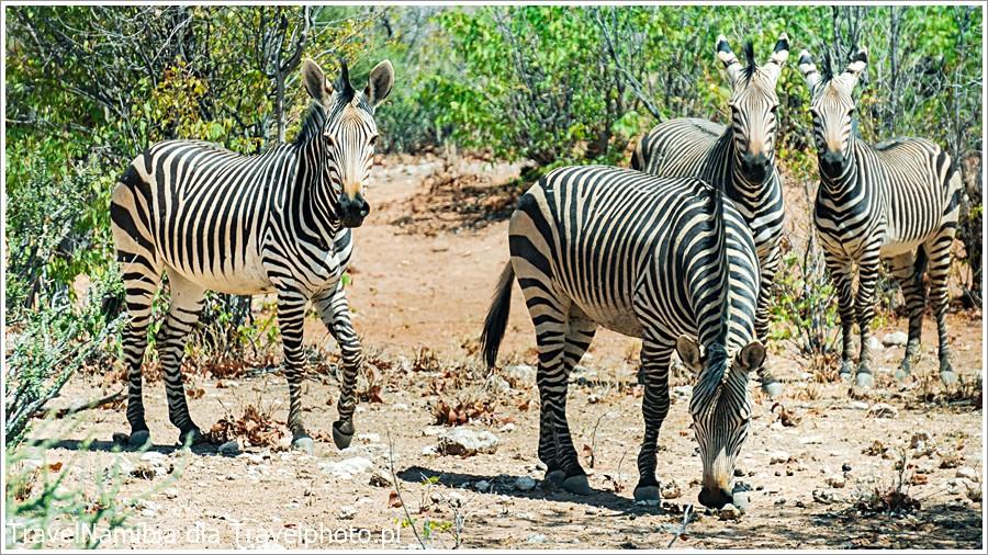 Zebra górska ma wąskie paski do końca nóg. Jest w zachodniej części parku.