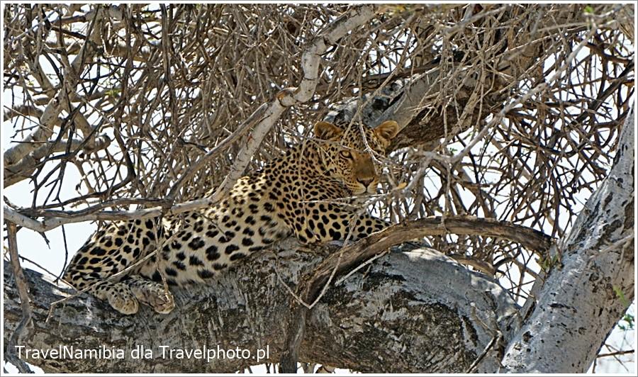 Największe szanse na spotkanie leoparda są na Dik-dik drive.