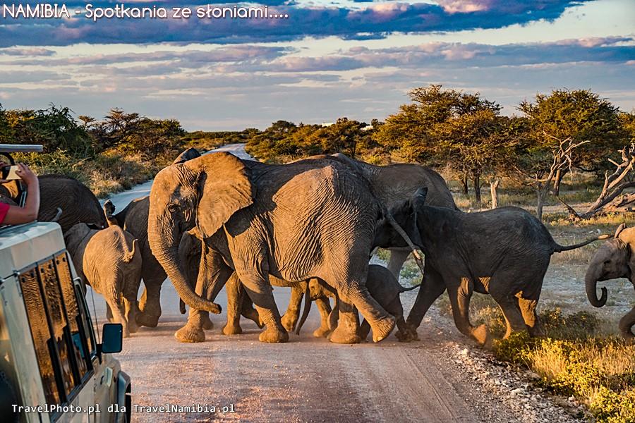 Kto ma pierwszeństwo? Słonie! Kto?! SŁONIE!