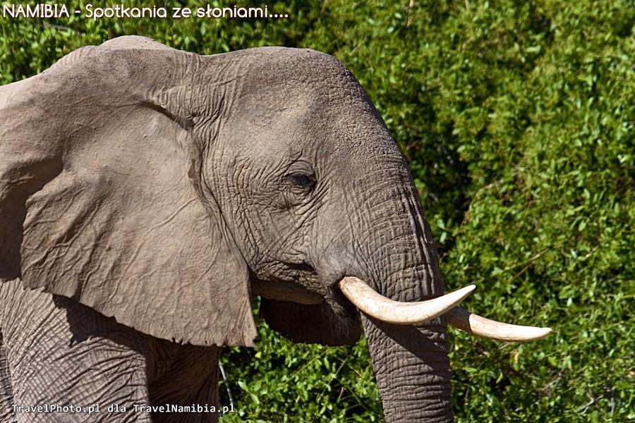 Pustynne słonie w Puros