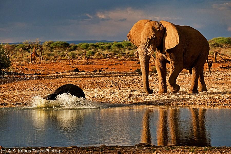 Słoń przy wodopoju - hipopotam zmyka!