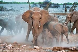 Słoń – ciekawostki o afrykańskich gigantach