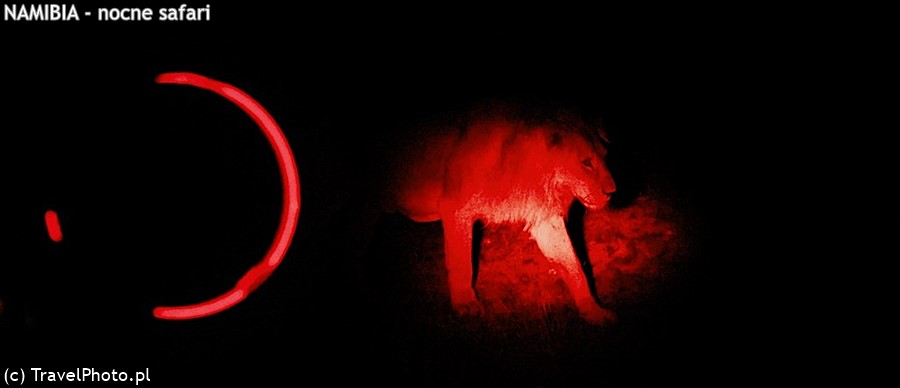 Lew wyłania się z mroku.