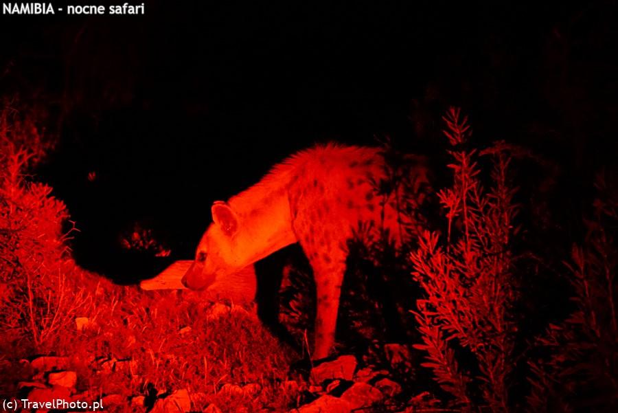 Hiena cętkowana (obecna nazwa: krokuta)
