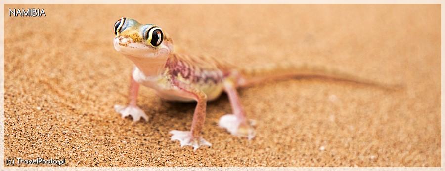 """Gekon - uroczy przedstawiciel zwierząt z""""Pustynnej Piątki"""""""