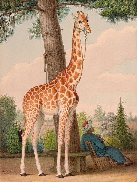 Portret Zarafy wysłany z Egiptu do Karola X. Na rysunku opiekun, który zajmował się zwierzęciem przez 18 lat. (Wikipedia)