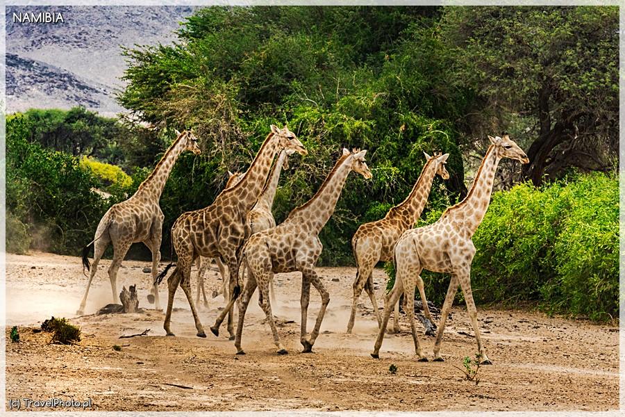 Purros - patrol żyraf.