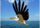 Z pelikanem dziób w dziób (5 niezwykłych historii)