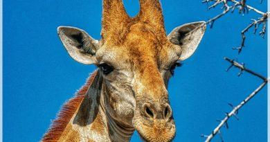 Jej Wysokość Żyrafa – 15 niezwykłych ciekawostek