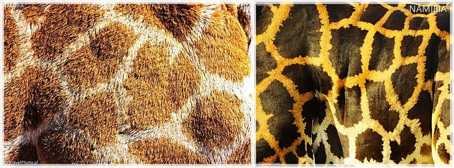 Po lewej żyrafa angolska, po prawej Rothschilda.