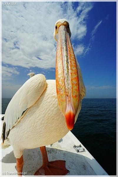 Pelikan na pokładzie :D
