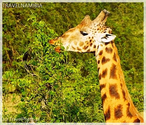 Uganda - żyrafa Rotschilda.