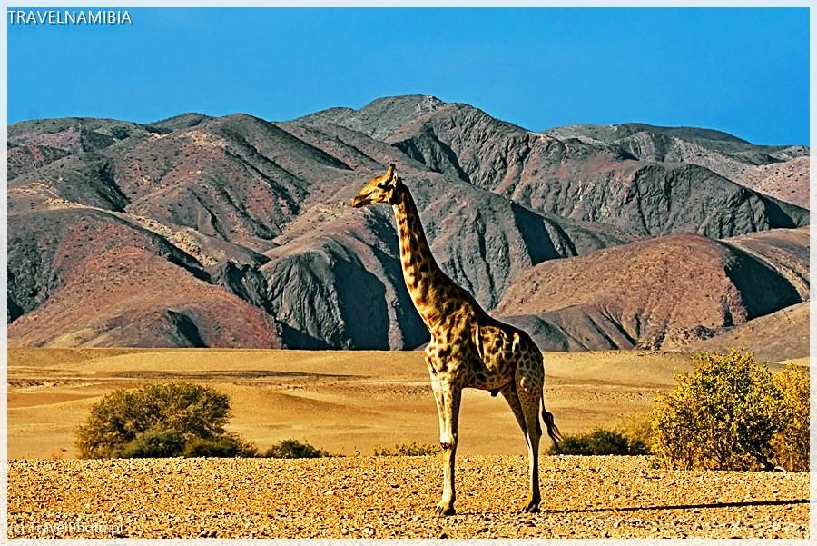 Pustynna żyrafa, okolice Purros.