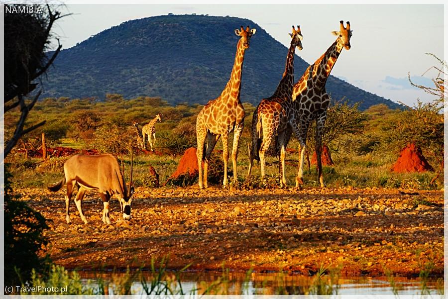 Żyrafy w Erindi (Namibia).