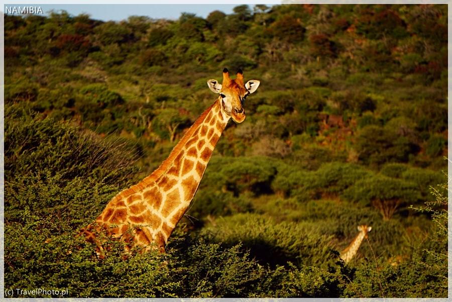 Żyrafy nie przestają fascynować ludzi!