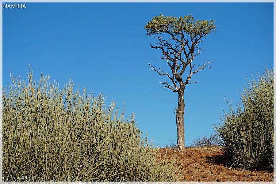 Drzewo w Damaraland objedzone przez żyrafy.