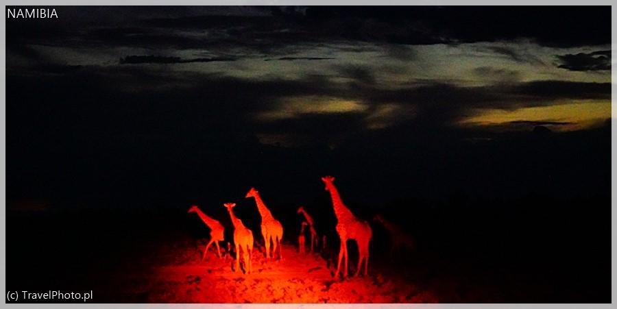 Nawet nocą żyrafy są aktywne.