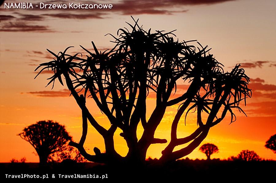 Aloesy przypominają miotełki czarownicy!