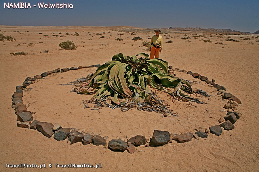Na Welwitschia Plains rosną ogromne okazy.