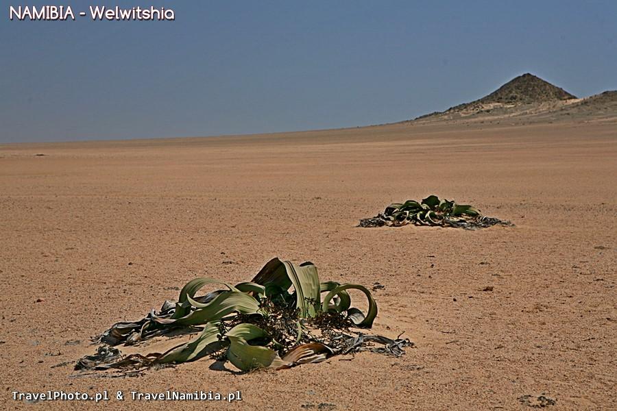 Rośliny na Welwitschia Plains.