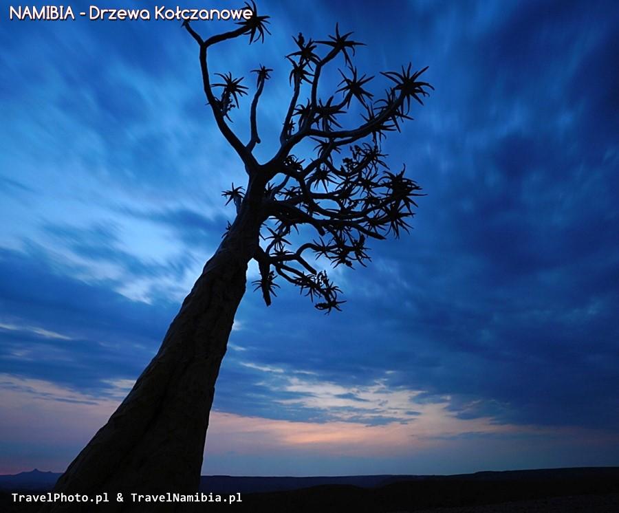 Drzewo kołczanowe o zmierzchu.
