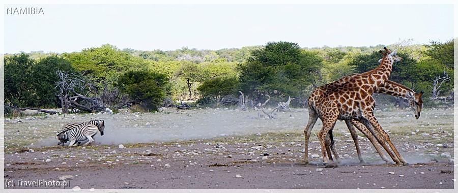 Walka o miłość: zebry się gryzą, żyrafy tłuką szyjami!