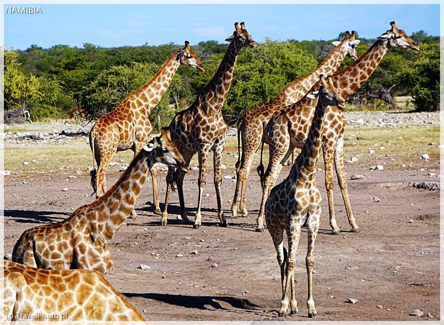 Stado żyraf w Etoszy.
