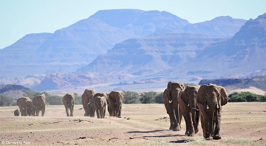 Pustynne słonie wędrują w poszukiwaniu wody.
