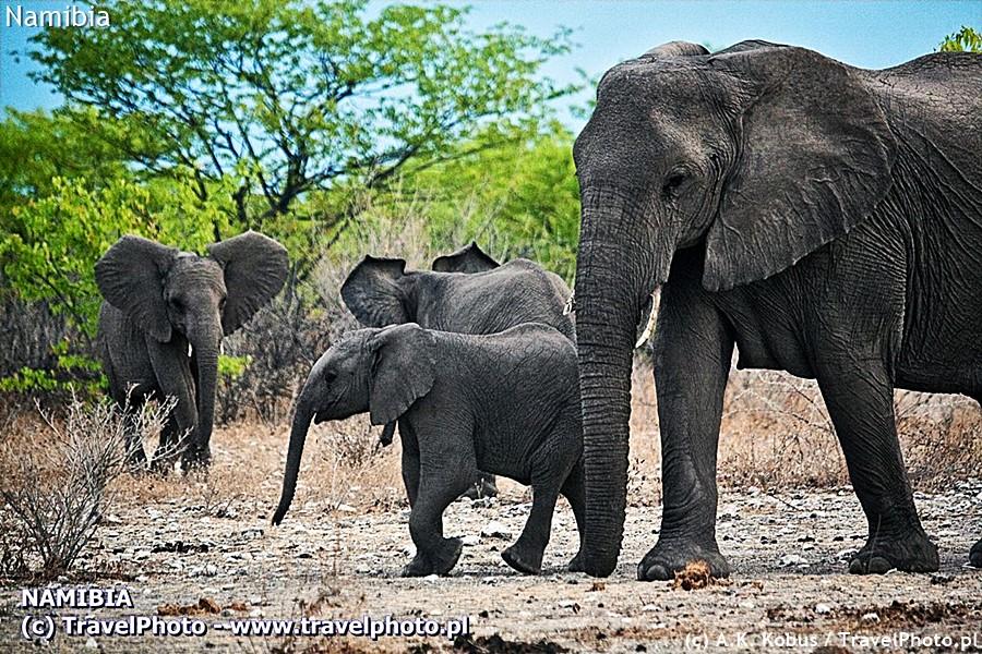 Olifant oznacza słoń w afrikaans.