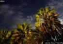 Palma makalani – królowa północy