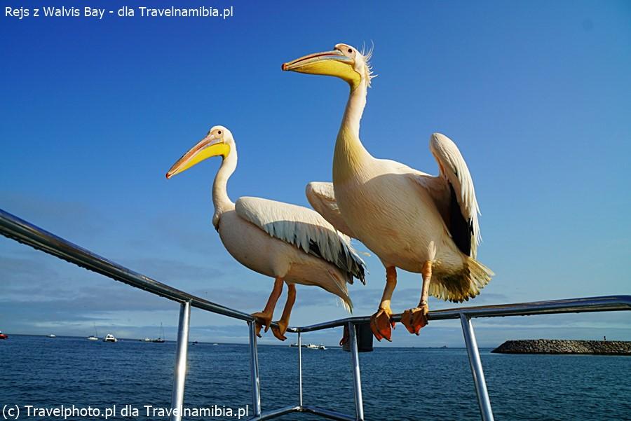 Pelikany na rejsie z Walvis Bay.