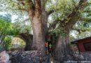 Ombalantu i największe baobaby Namibii